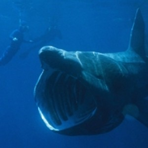 basking_sharks_low_resolution