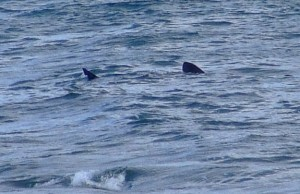 2009 basking shark port ronan malin head2